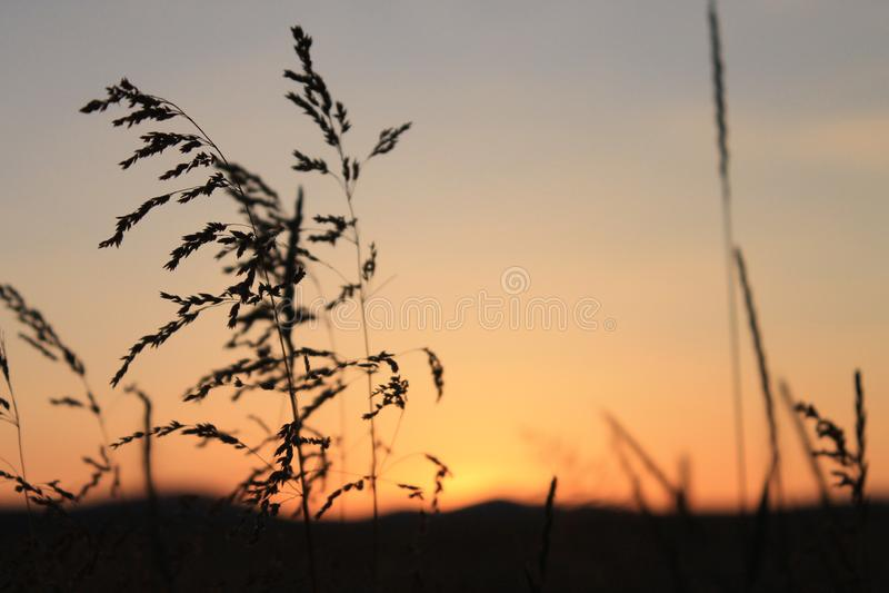 在日落的麦子 免版税库存照片