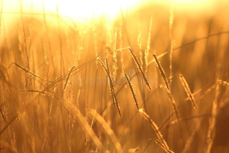 在日落的麦田 免版税库存图片