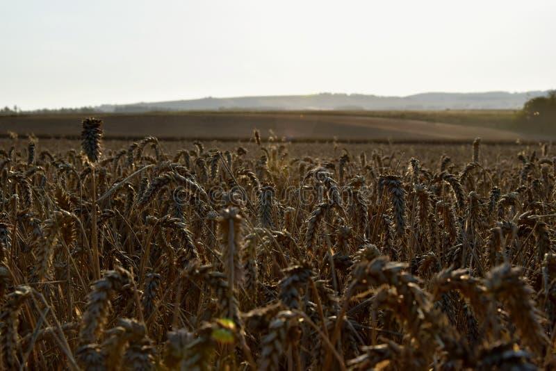 在日落的麦田 收获的时期 库存照片