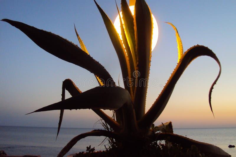 在日落的龙舌兰灌木 免版税库存图片