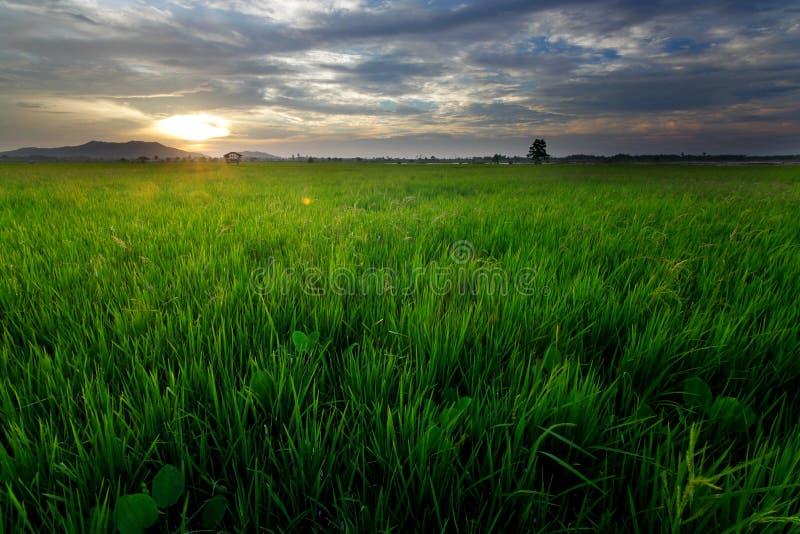 在日落的稻田 免版税库存照片