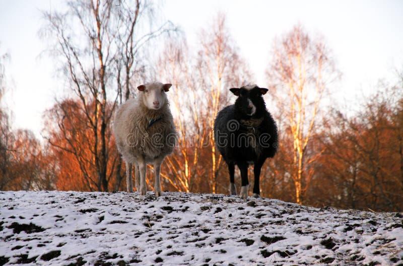 在日落的黑白绵羊 库存图片