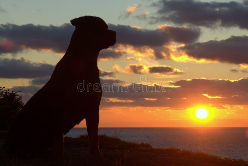在日落的Rottweiler 免版税库存图片