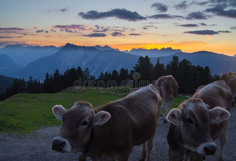 在日落的Tyrolian母牛在山峰 免版税库存图片