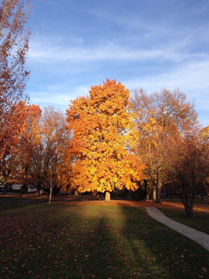 在日落聚焦的秋天树 图库摄影