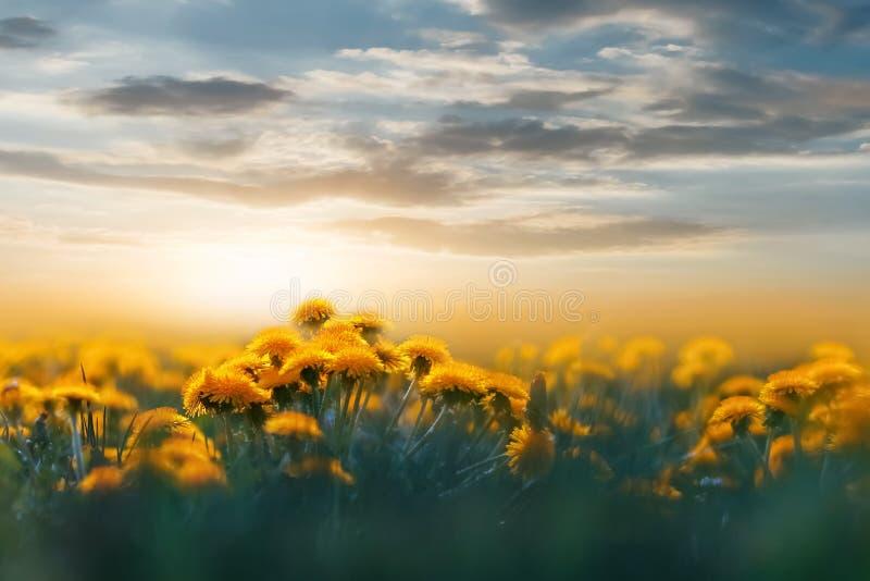 在日落背后照明的黄色蒲公英在狂放的领域的 背景花卉自然 概念夏天春天 免版税库存照片