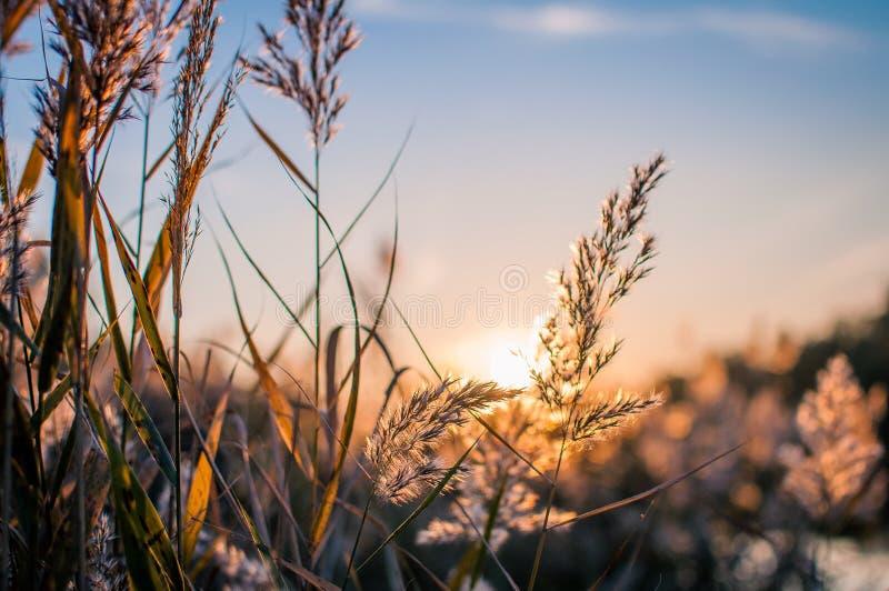 在日落背景的纸莎草 库存照片