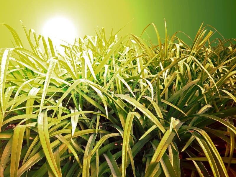 在日落背景的绿草 免版税库存照片