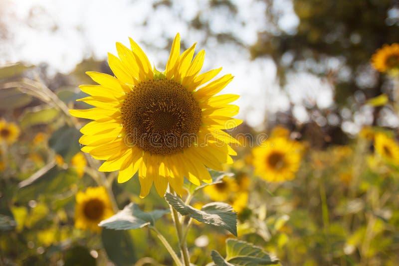 在日落自然的向日葵领域 库存照片