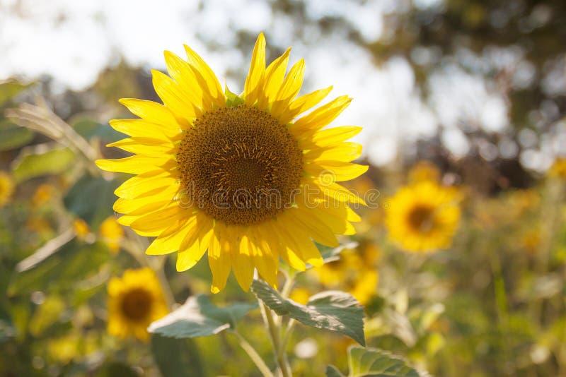 在日落自然的向日葵领域 库存图片