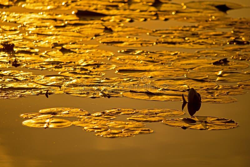 在日落金黄光的睡莲叶  库存照片