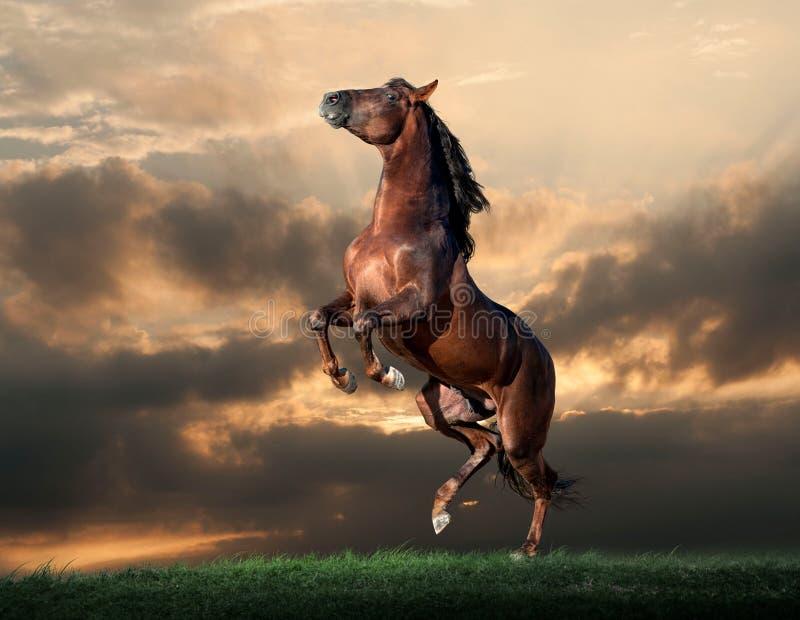 在日落领域的安达卢西亚的公马 免版税库存照片