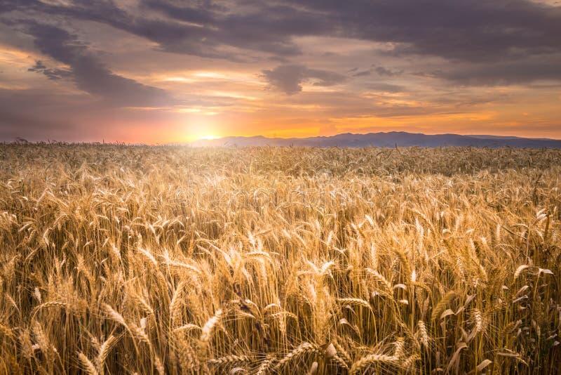 在日落麦子的美好的域 库存照片