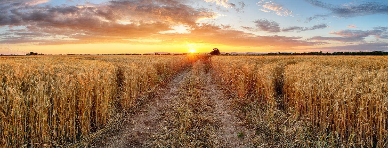 在日落,全景的麦田 免版税库存图片
