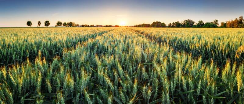在日落,全景的麦田 免版税图库摄影