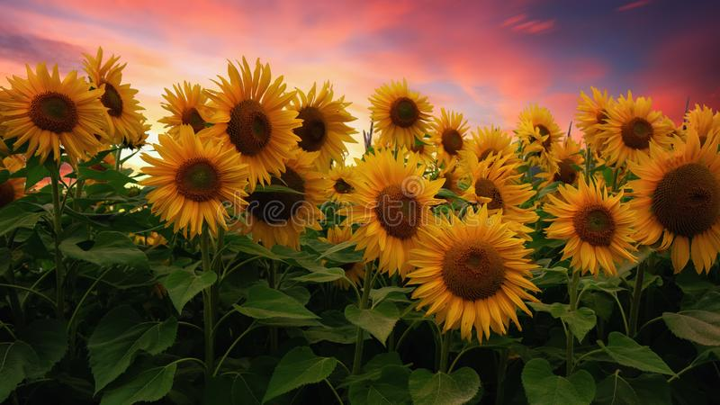 在日落,北加利福尼亚,美国的向日葵领域 库存图片