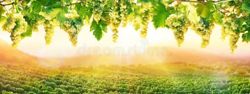 在日落-白葡萄垂悬的葡萄栽培 免版税库存照片