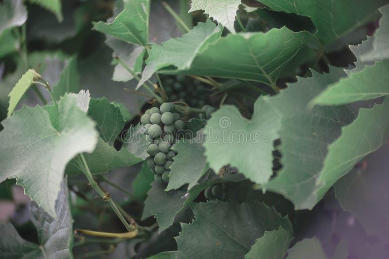 在早午餐的绿色葡萄 库存照片