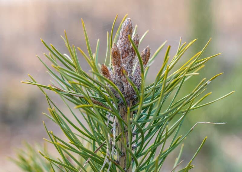 在早春天关闭的年轻杉木芽 免版税库存图片
