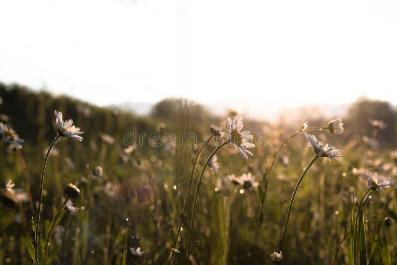 在早晨光的开花的延命菊雏菊 库存图片