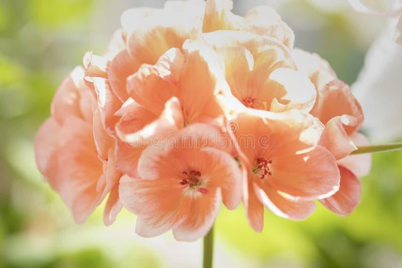 在早晨光的桃红色大竺葵 库存照片