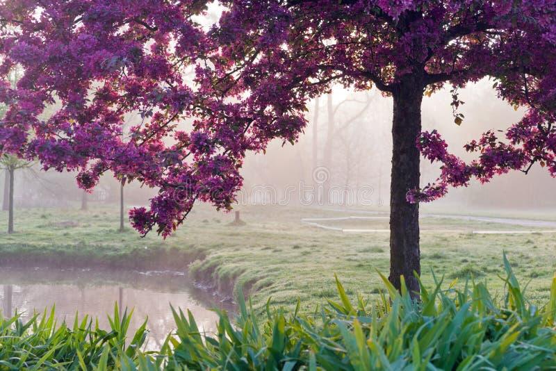 在早晨光的桃红色日本树,春天庭院Stromovka在布拉格 库存图片