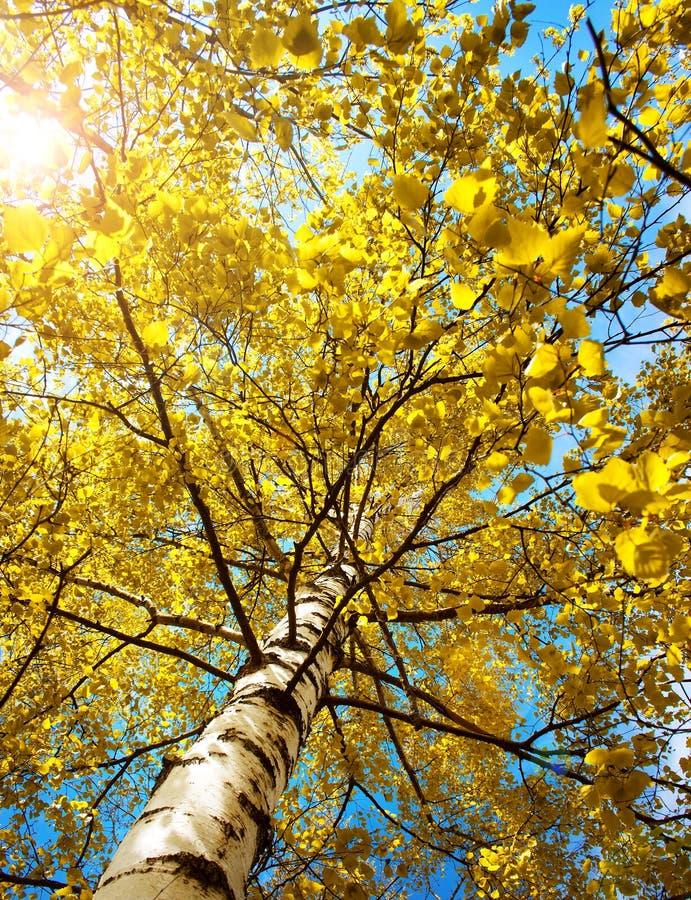 在早晨光的桦树叶子 免版税库存图片