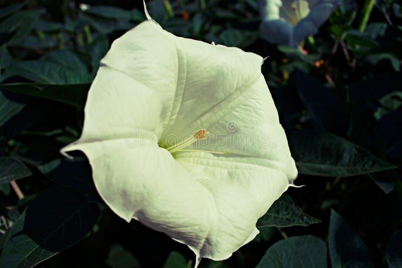 在早晨光的白色曼陀罗blossomon 免版税库存照片