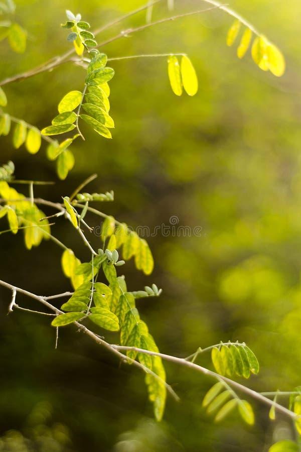 在早晨光的绿色叶子 免版税图库摄影