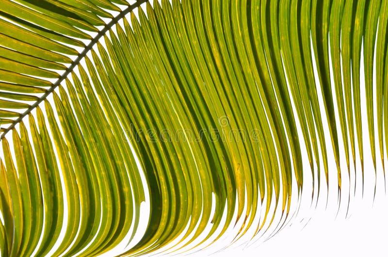 在早晨光的美丽的绿色棕榈叶 库存图片