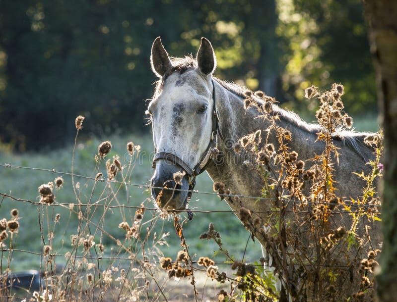 在早晨光的起斑纹的灰色马 库存图片