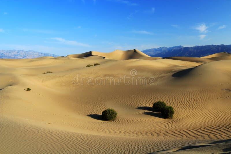 在早晨光,死亡谷国家公园,加利福尼亚的豆科灌木平的沙丘 免版税库存图片