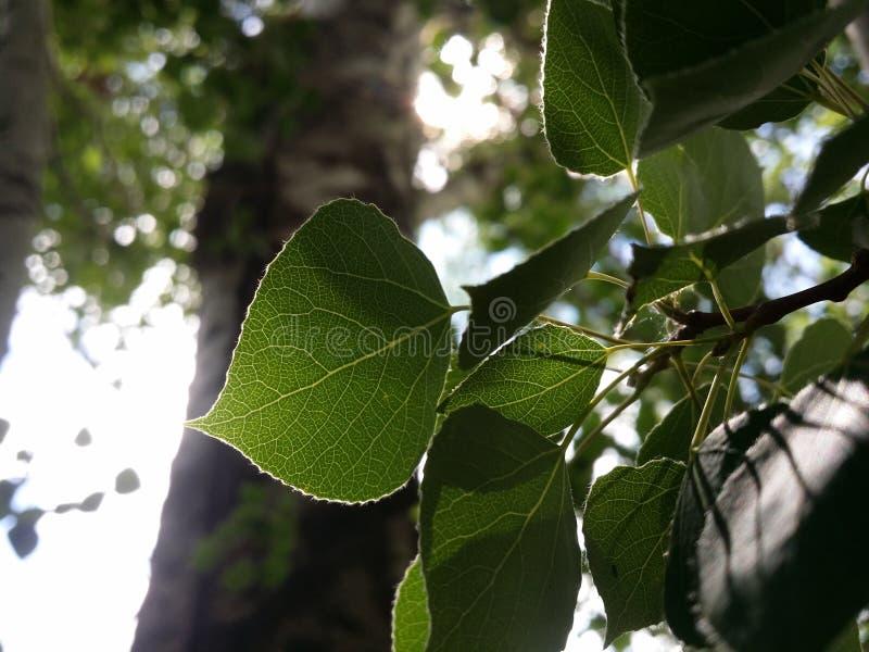 在早晨太阳的白杨树叶子 库存图片