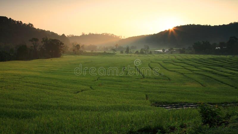 在早晨日出的露台的米领域 免版税库存照片