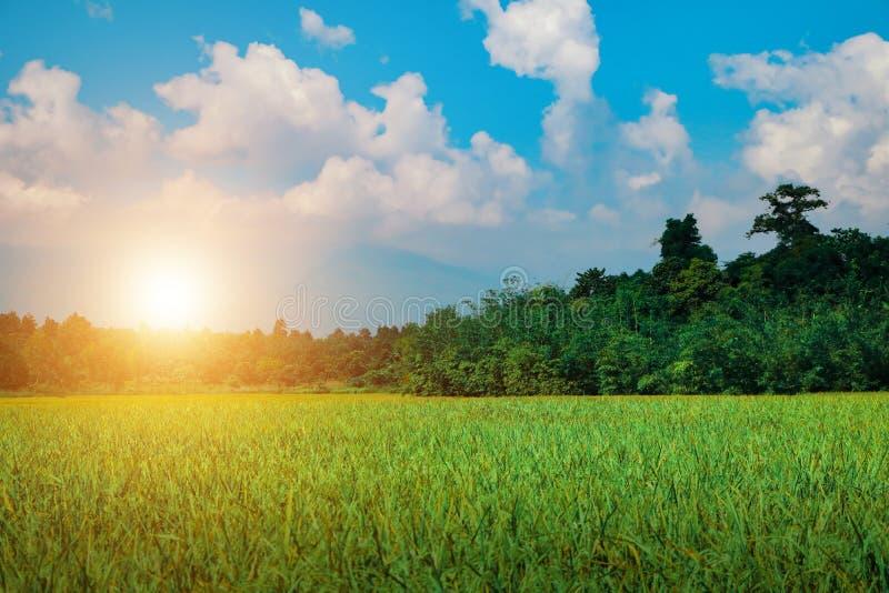在早晨日落浅兰的天空的绿色米领域 图库摄影