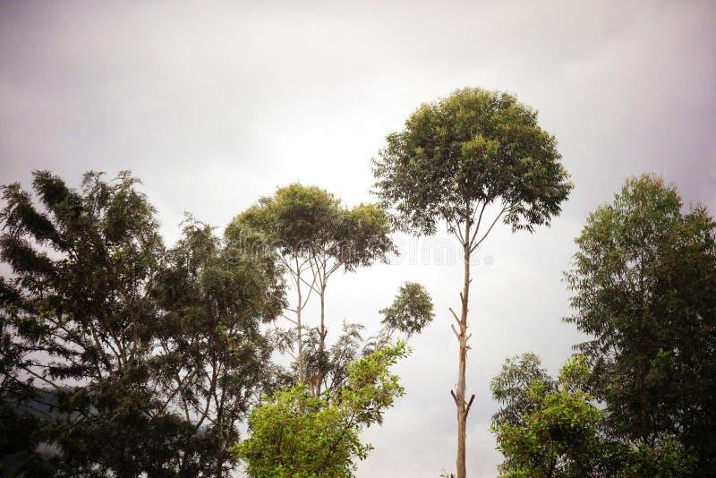 在早晨焕发现出轮廓的有薄雾的里奇树 库存图片