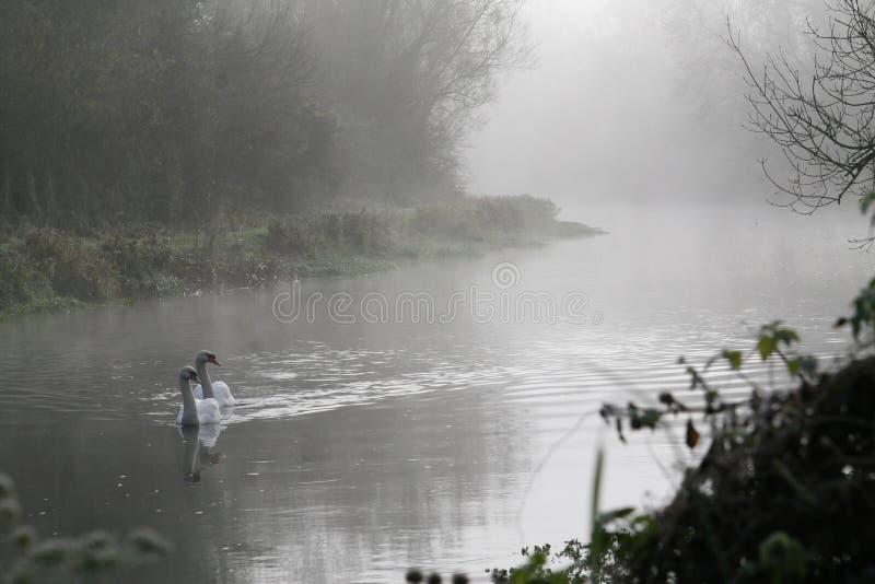 在早晨薄雾的天鹅 库存照片