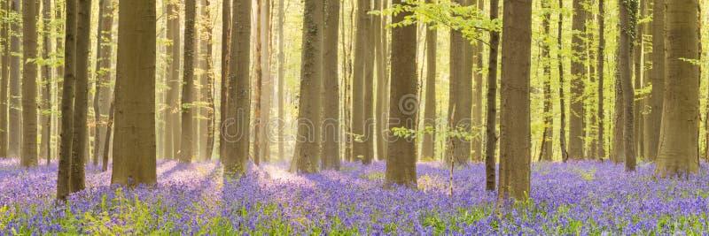 在早晨阳光下开花的会开蓝色钟形花的草森林  免版税库存照片