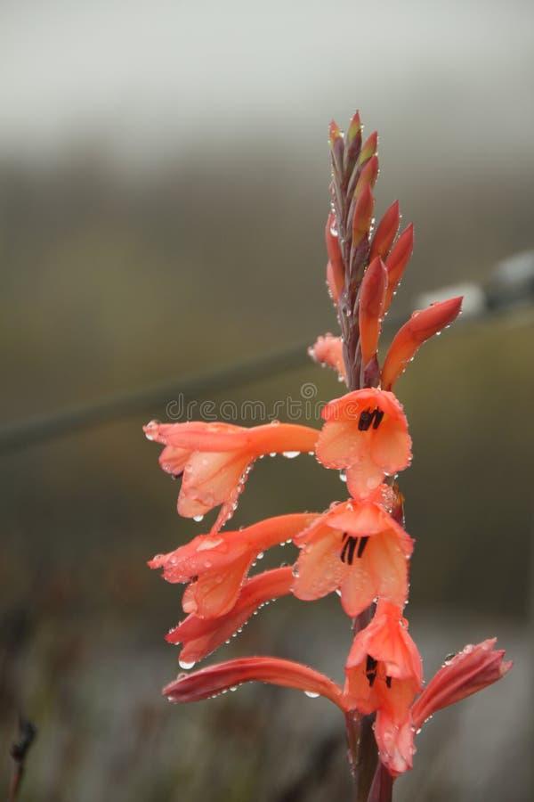 在早晨露水的精美红色花 免版税库存图片