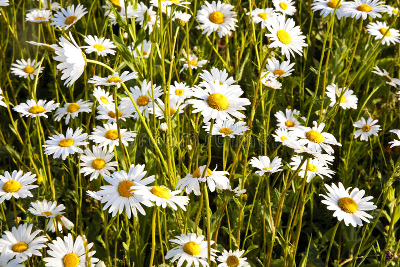 Download 在早晨lig的美丽的雏菊 库存照片. 图片 包括有 关闭, 工厂, 草甸, 环境, 和谐, 增长, 特写镜头 - 59101236