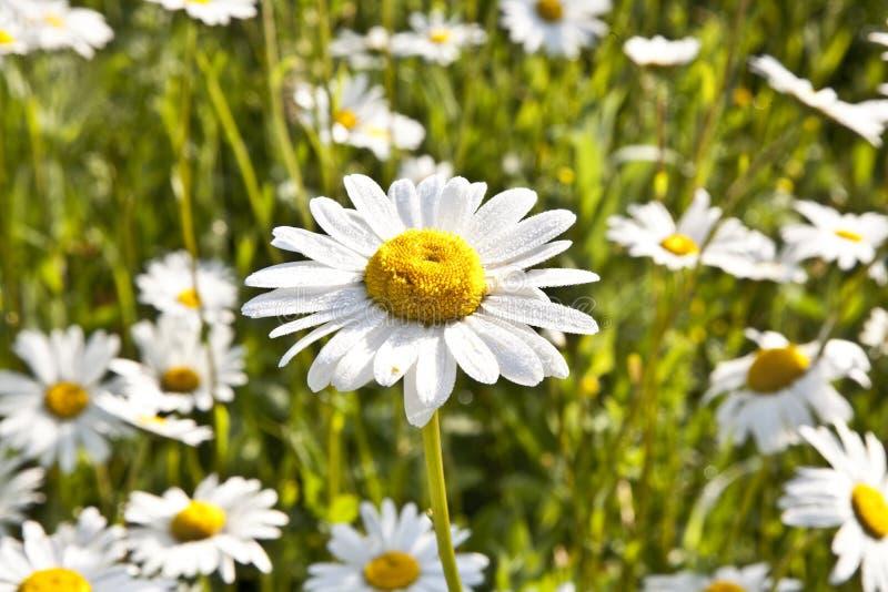 Download 在早晨lig的美丽的雏菊 库存照片. 图片 包括有 露水, 背包, 特写镜头, 抽象, 关闭, 绽放, 雏菊 - 59101354