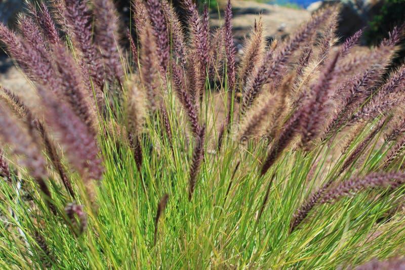 在早晨summe的喷泉紫色花开花的草地 图库摄影