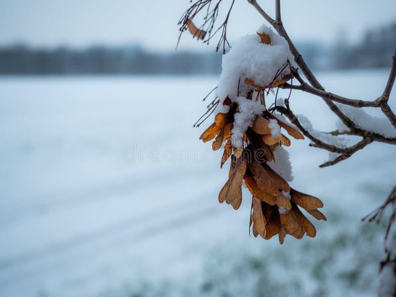 在早期的冬天雪捉住的美国梧桐种子 图库摄影