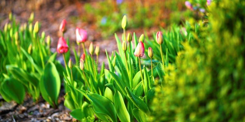 在早期的开花的郁金香 免版税库存图片