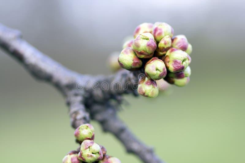 在早期的春天期间,开始李属avium野生的甜樱桃开花,小组在开花的分支的芽 免版税图库摄影