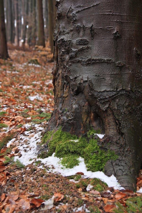 在早期的春天的老山毛榉 库存照片