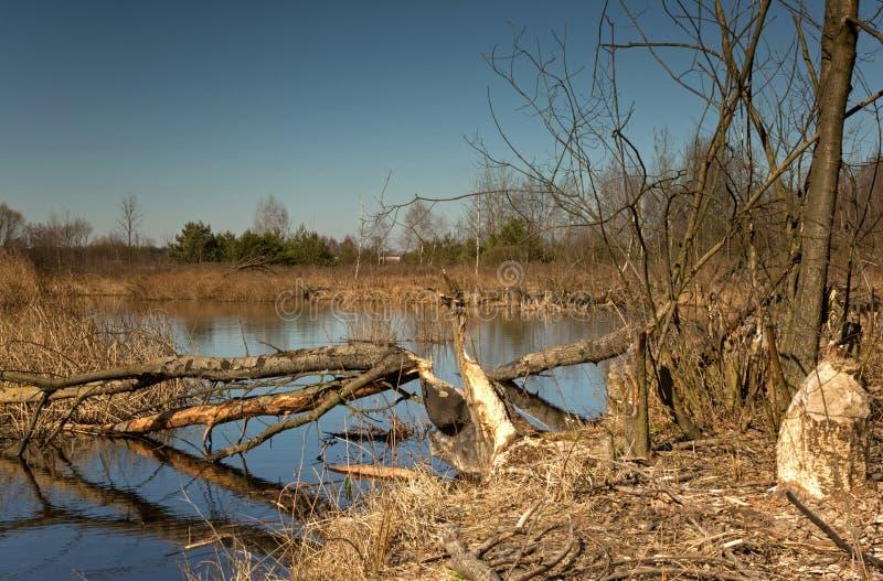 在早期的春天筑成池塘,并且树由海狸裁减 库存照片