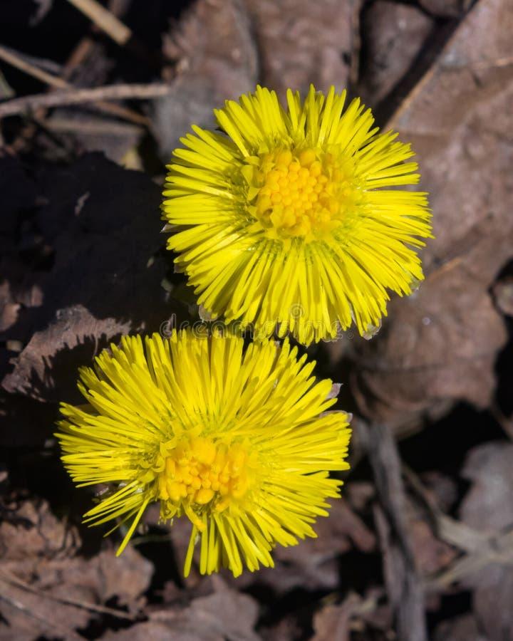 在早期的春天,开花的款冬, tussilago farfara,与bokeh背景选择聚焦,浅DOF的宏指令开花 免版税库存照片