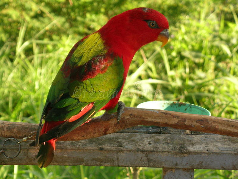 在早餐的五颜六色的鹦鹉 免版税库存图片