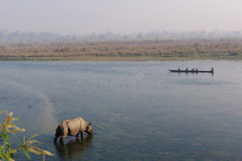 在早餐的犀牛在Rapti河在尼泊尔的密林 环境美化与亚洲犀牛在Chitwan,尼泊尔 免版税库存照片